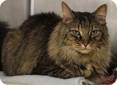 Westampton, NJ - Maine Coon. Meet C-69065 Baby, a cat for adoption. http://www.adoptapet.com/pet/15146040-westampton-new-jersey-cat