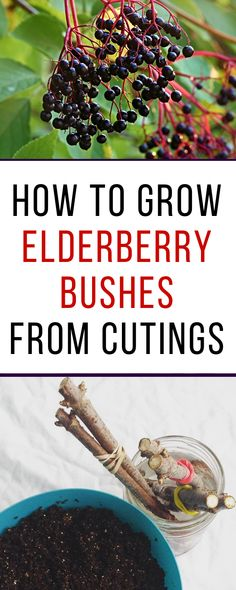 Learn how to root elderberry cuttings and affordably start your own patch of elderberry bushes. It's easy to grow elderberry bushes from cuttings!