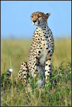 The Cheetah. A spotted, swift, regal cat!