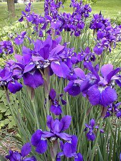 Iris sibirica 'Caesar's Brother'  (Siberische Lis), grasachtig blad, prachtig gevormde bloemen