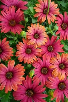 Cape Daisy (Osteospermum), a. African Daisy - I can't get enough of looking at these flowers. Amazing Flowers, My Flower, Beautiful Flowers, Colorful Flowers, Summer Flowers, Cut Flowers, Dried Flowers, Flower Pots, Flower Wallpaper