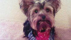 Yorkshire Terrier named Bailey apparently snuck out the front door in Texas 6 years ago and was never seen again