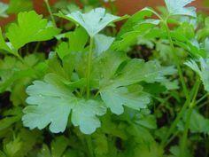 Cómo sembrar semillas de Perejil   Cuidar de tus plantas es facilisimo.com