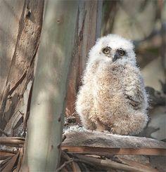 Fluffy white Great Horned Owl chick