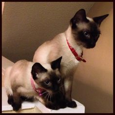 Siamese Cats In 2020 Tonkinese Cat Siamese Cats