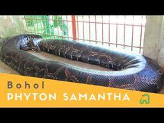 "Burmese Python ""Samantha"": The Biggest Snake in Bohol (Philippines) - YouTube Burmese Python, Bohol Philippines, Snake, Big, Youtube, A Snake, Youtubers, Snakes, Youtube Movies"