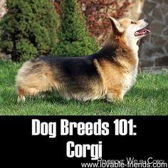 Pembroke Welsh Corgi - Alert and Affectionate I Love Dogs, Cute Dogs, Corgi Breeds, Cute Corgi Puppy, Corgi Dog, Corgi Facts, Pembroke Welsh Corgi Puppies, Dog Spay, Silly Dogs