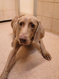 #TEXAS #URGENT ~ ID 21256977 DH403 is a Weimaraner in need of a loving #adopter / #rescue at ARLINGTON ANIMAL SERVICES  1000 SE Green Oaks  #Arlington TX 76018   contact Susan Susan.Waits@arlingtontx.gov  for more info about this pet.OWNER SURRENDER