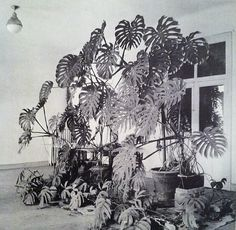 amazing display of Monstera deliciosa in the studio of Henri Matisse: Henri Matisse's studio, Hotel Regina, Nice, 1948