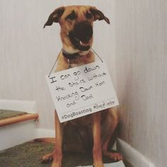 Bailey's days of bad manners and knocking her parents down the stairs are long gone! #DogBoasting #NotAshamed #caninecompany #gooddog #goodmanners #dogtraining #dogs #smartdog