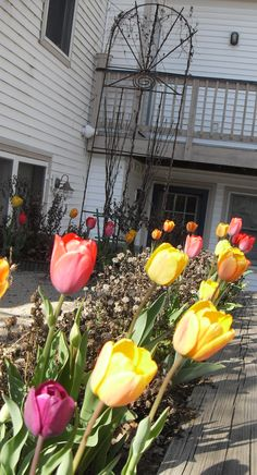 Tulips at the Cottage