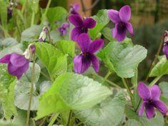 Viola odorata nel mio giardino -  Foto-diario di una giardiniera curiosa