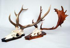 Gewei damhert edelhert  - Decoratie artikelen. landelijke woondecoraties. - de jong interieur, skull, skulls, animal, deer