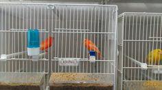 La cria de canarios ( preguntas yrespuetas de la temporada de crias de c...