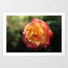 Rose 2599 Art Print by metamorphosa - $22.88