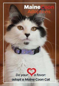 Do Your Heart a Favor: adopt a Maine Coon Cat       www.MaineCoonAdoptions.com