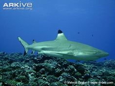 Female blacktip reef shark with mating scars