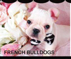 Teacup Puppies for sale - TeacupPuppiesStore.com , Buy Teacup Puppies, Teacup Yorkies For Sale and Dog Boutique