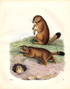 1853 Prairie Dogs Antique Animal Print by AntiquePrintGallery