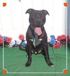 Pit Bull Terrier Mix Dog for adoption in Marietta, Georgia - CHANCE