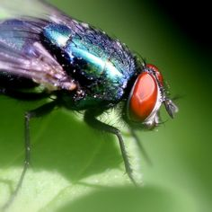 Common Green Bottle Fly / Groene Vleesvlieg ( Lucilia sericata)
