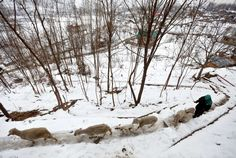 Srinagar, India:   A woman walks with her sheep along a snow covered road on Jan. 12.