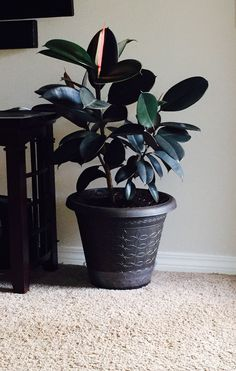 The rubber tree or plant (Ficus elastica decora) is a favorite houseplant. Rubber plants have large, thick, glossy green leaves. New leaves have a rosy colored sheath. Rubber trees will grow well in most homes with just a little care. In...