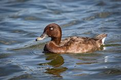 Hardhead - Male ... also called a White-eyed Duck