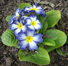 Elatior Hybrid, Polyanthus Primrose 'Starlight Blue Flame' (Primula polyantha)