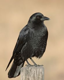 American Crow.  seen commonly - often chasing red-tailed hawks.