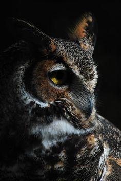 Horned Owl by =Aktuell on deviantART