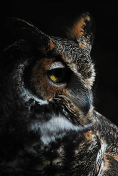 Horned Owl by =Aktuell on deviantART