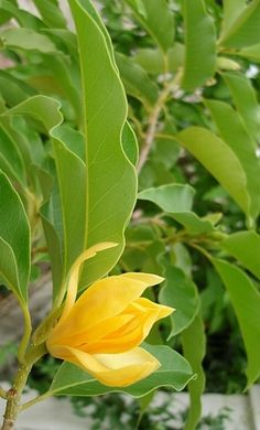 Magnolia champaca, commonly called yellow jade orchid tree, is a large evergreen tree, native to the Indomalaya ecozone (consisting of South Asia, Southeast Asia and some parts of China).[ It is best known for its strongly fragrant yellow or white flowers.