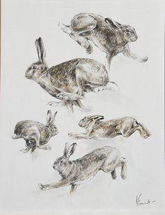Étude de lièvre, dessin au crayon par Arnaud Fréminet. Hare drawing. #Wildlife painting.