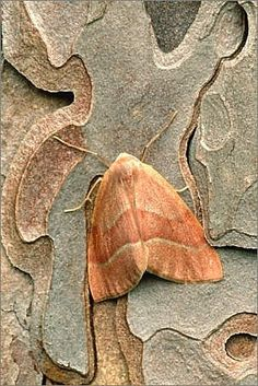 Moth on tree bark. No, it's Mothra (not to be confused with Mithra) and it is flying into Japan for lunch.