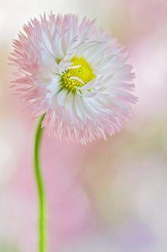 Sweet Daisy by Jacky Parker