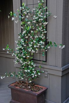 The fragrant white flowers of confederate jasmine (Trachelospermum jasminoides) perfume the air from spring into early summer, while its glossy, dark green foliage provides an attractive backdrop.