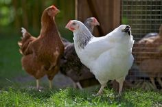 Let's talk about backyard hens in Jacksonville on March 12. Then join us March 26 as we petition city council to legalize hens in residential neighborhoods. Look at our online calendar for details. Hens are legal in all other cities around the US!