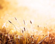 nature photography grasses sunset photography by mylittlepixels