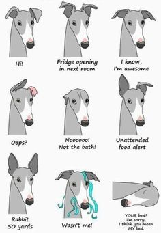 The many faces of the beloved Greyhound Whippets are good for both homes with ya. - The many faces of the beloved Greyhound Whippets are good for both homes with yards and apartments. Greyhound Rescue, Greyhound Art, Italian Greyhound Puppies, Italian Greyhound Clothes, Lévriers Whippet, Funny Dogs, Cute Dogs, Funny Puppies, Chihuahua