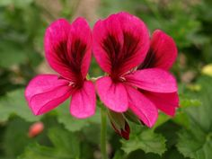 Alveston - magenta throat to deep pink flower