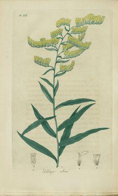 Solidago odora, Sweet scented golden rod, pp. Plate XX-191