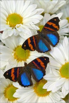 Darrell Gulin - Sammamish Washington Photograph of Butterfly on Flowers, Epiphile orea the Orea Banner Butterfly