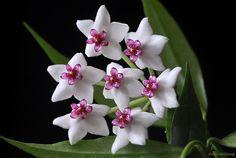 Wax-flower [Hoya bella; Family: Ascelpidaceae] - Flickr - Photo Sharing!