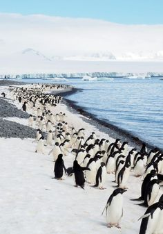 The March of the Adelies! Penguins are an absolute delight. ALL penguins. I must say, though, the Adelies were the most delightful of the delightfuls! Places To Travel, Places To See, Antarctica Cruise, Madagascar Travel, Argentina Travel, Citizen Science, Fauna, Travel Photos, Travel Ideas