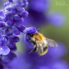 Bumblebee by Linkineos.deviantart.com pollinators. Now that they are Endangered, how beautiful the miracle of a bee is.