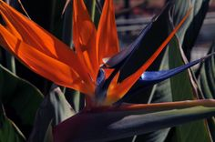 The uniquely beautiful Bird of Paradise Flower.