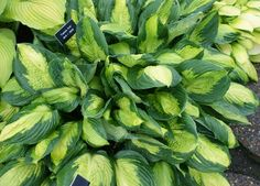 Captain Kirk Hosta-Shade Perennial Large Hosta Plant