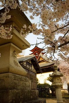 "Pagoda through the sakura (cherry blossoms). Previous pinner wrote: ""I absolutely loved Miyajima.. One of the most beautiful places I've been, especially with the sakura in full bloom."""