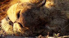 (8) Twitter National Geographic Wild, African Safari, Live, Twitter, Animals, Animales, Animaux, Animal, Animais